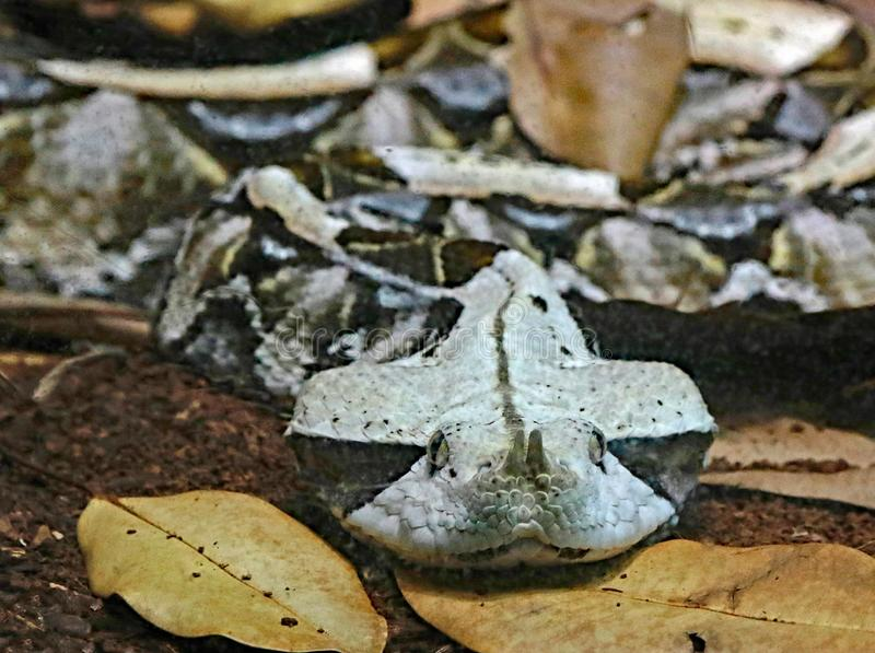 Camouflaged Venomous Gaboon Viper. Close up detail of large African snake with deadly venom laying on forest floor stock images