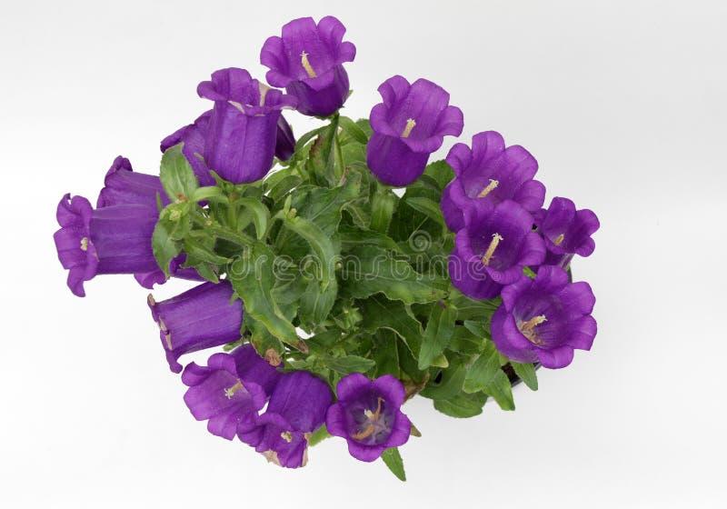 Campánula Bellflowers violetas florecientes aislados en el fondo blanco Flor de la campánula de la planta, foto de la flor del es imágenes de archivo libres de regalías