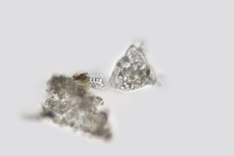Campánula de la vorticela Microorganismo acampanado de agua dulce fotografía de archivo