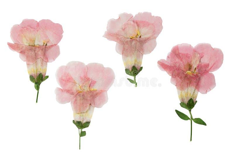 Campánula presionada y secada de las flores, aislada en blanco imagen de archivo libre de regalías