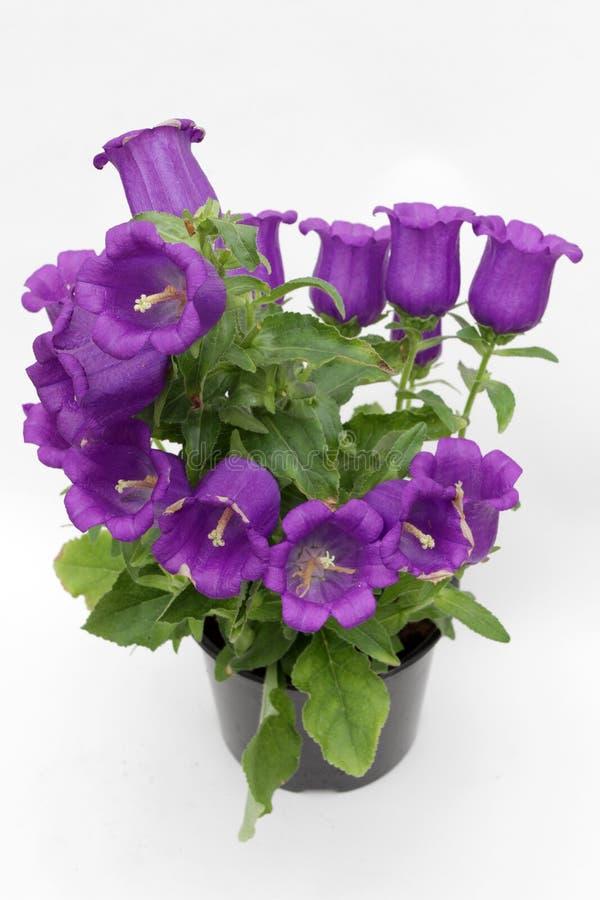 Campânula Bellflowers violetas de florescência isolados no fundo branco Flor da campânula da planta, foto da flor do espaço da có imagens de stock royalty free