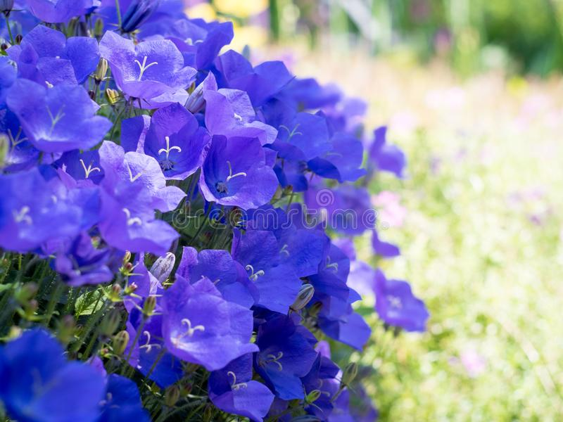 Campânula Luxúria Bush de flores de sino azuis foto de stock