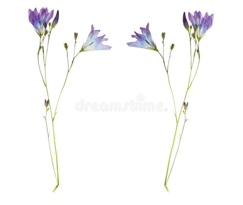 Campânula pressionada e secada da flor Isolado no backgroun branco fotos de stock royalty free