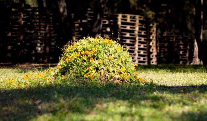 Camp des jaunes de fleurs photo libre de droits