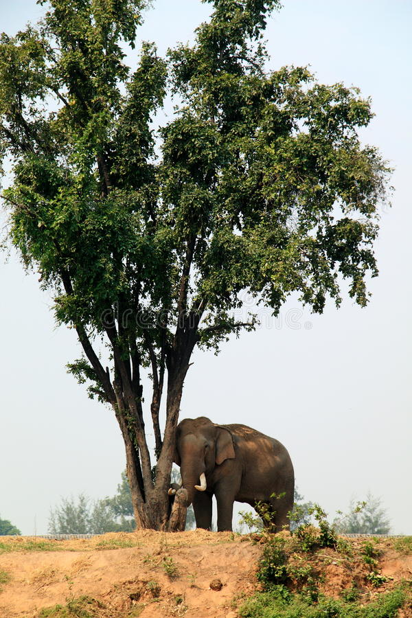 In a camp for elephants stock photo