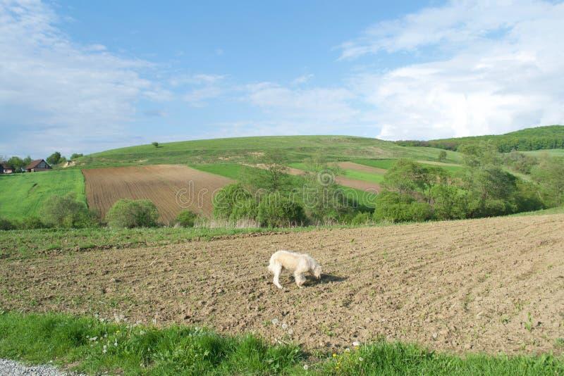 Camp, panorama cer senin, caine, Romania stock photo