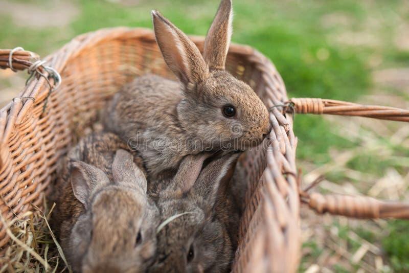 Campagna della merce nel carrello di tre bunnys immagini stock