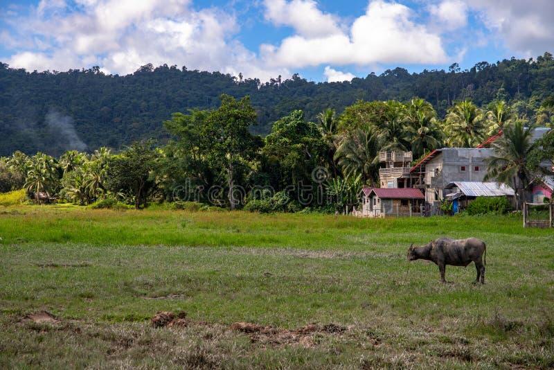 Campagna tropicale con la foresta, il campo ed il bufalo verdi Fabbricato agricolo ed animale Toro del Carabao nel paesaggio sole immagini stock