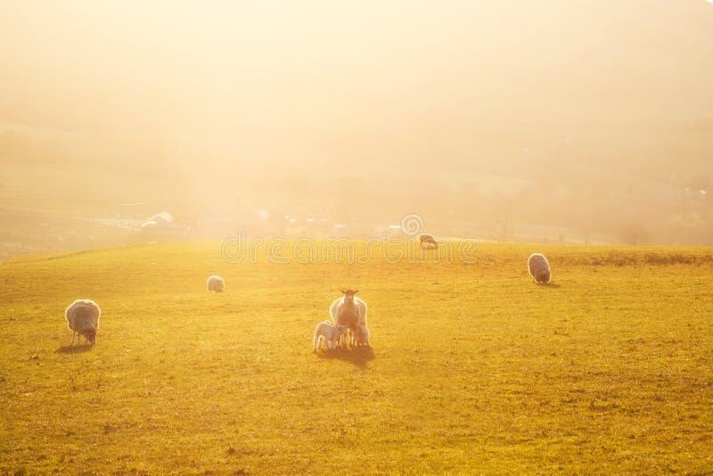 Campagne Angleterre R-U de moutons images libres de droits