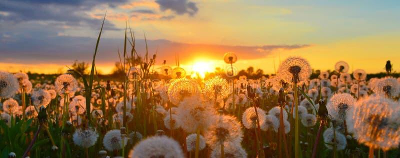 Campagne avec des pissenlits au printemps au coucher du soleil photos libres de droits