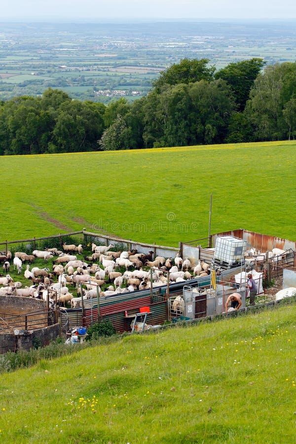 Campagne de tonte des moutons Broadway Cotswolds photo libre de droits