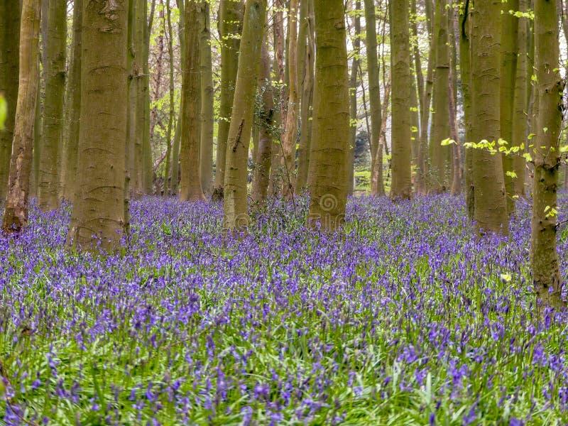 Campainhas na madeira de Philipshill, Chorleywood foto de stock royalty free