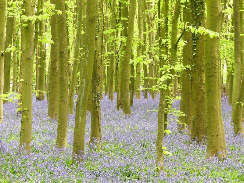 Campainhas na madeira de Philipshill, Chorleywood, Hertfordshire, Inglaterra, Reino Unido foto de stock royalty free