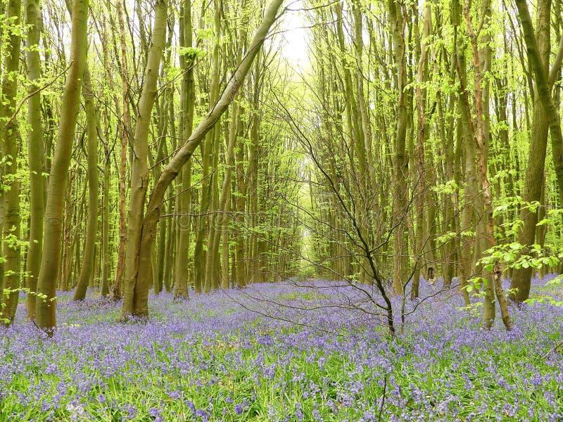 Campainhas na madeira de Philipshill, Chorleywood, Hertfordshire, Inglaterra, Reino Unido imagens de stock royalty free