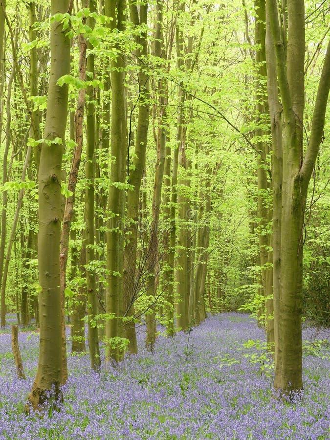 Campainhas na madeira de Philipshill, Chorleywood, Hertfordshire, Inglaterra, Reino Unido fotos de stock royalty free