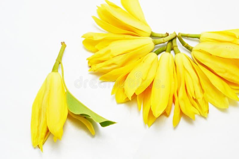 Campaka ylang ylang στοκ εικόνες