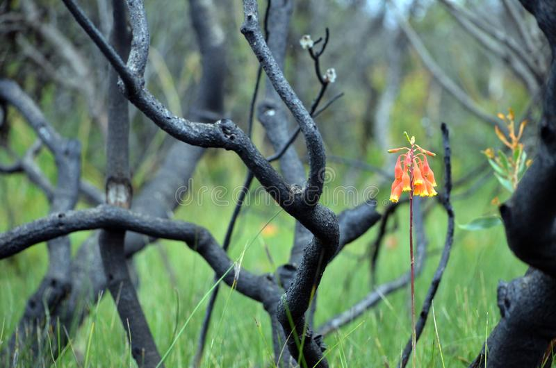 Campanas de la Navidad que crecen en brezo de la regeneración después de bushfire imagen de archivo libre de regalías