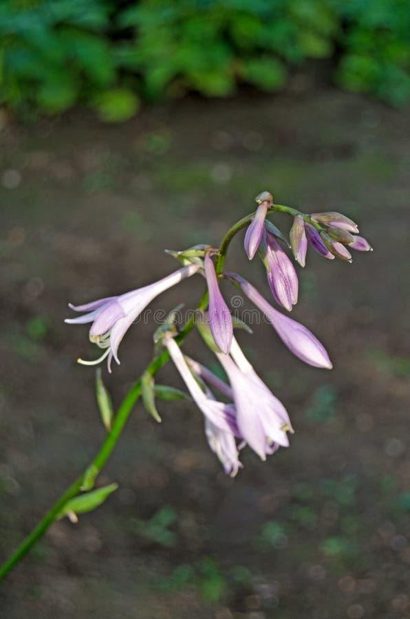 Campanas del jard?n Flores hermosas en el jard?n imagen de archivo
