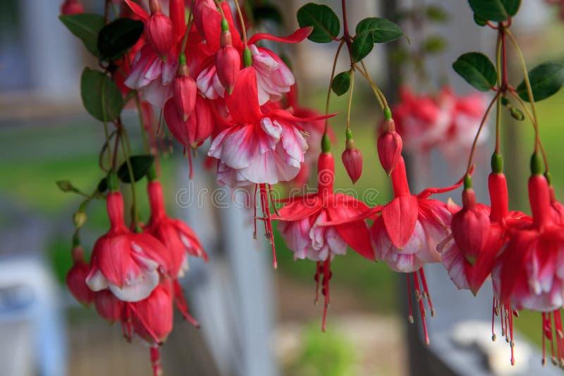 campanas Rojo-blancas de flores fucsias foto de archivo