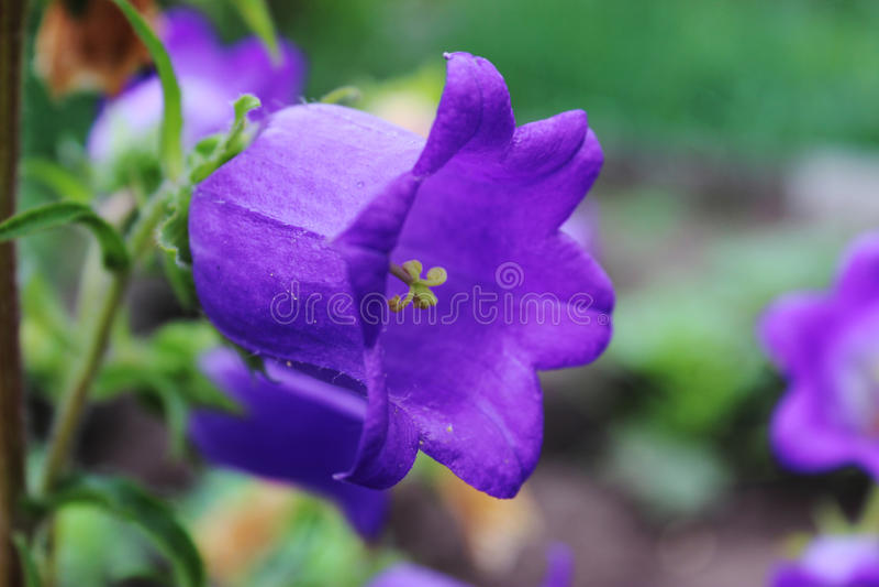 Campanas violetas en el jardín imagenes de archivo