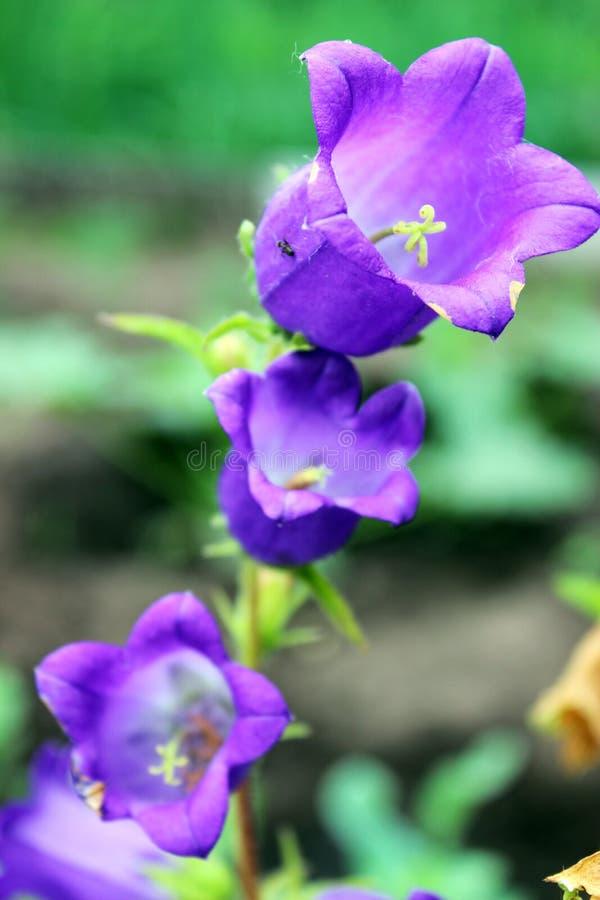 Campanas violetas en el jardín imagen de archivo