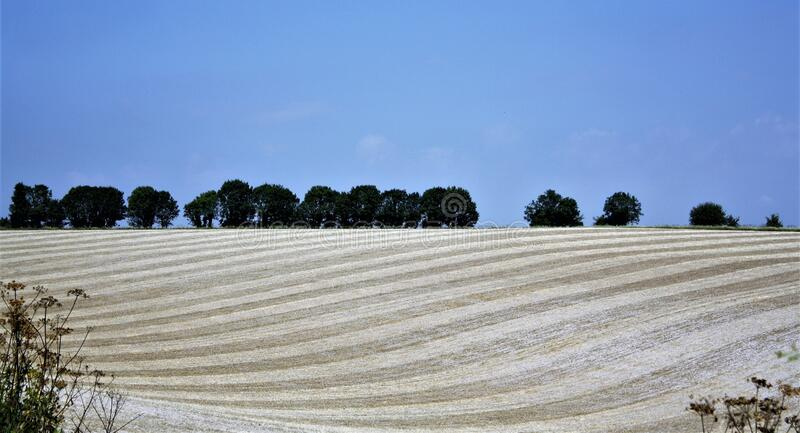 Campanha de trigo mole imagens de stock