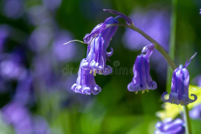 campanilla floreciente de la primavera foto de archivo