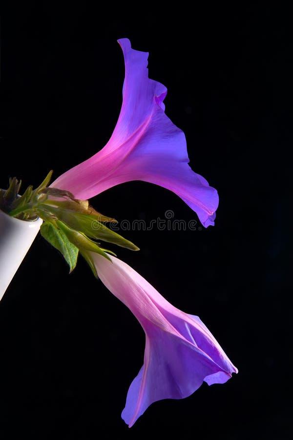 campanillas zdjęcie stock