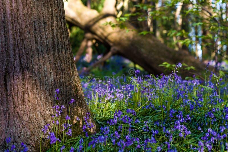 Campanillas al lado de un tronco de árbol en un arbolado inglés en primavera foto de archivo