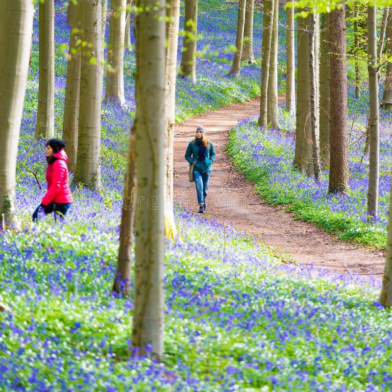 Campanillas bosque, Bélgica de Hallerbos fotos de archivo