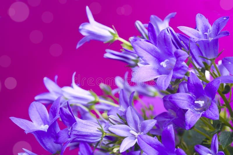 Campanula bellflowers on purple background stock photos