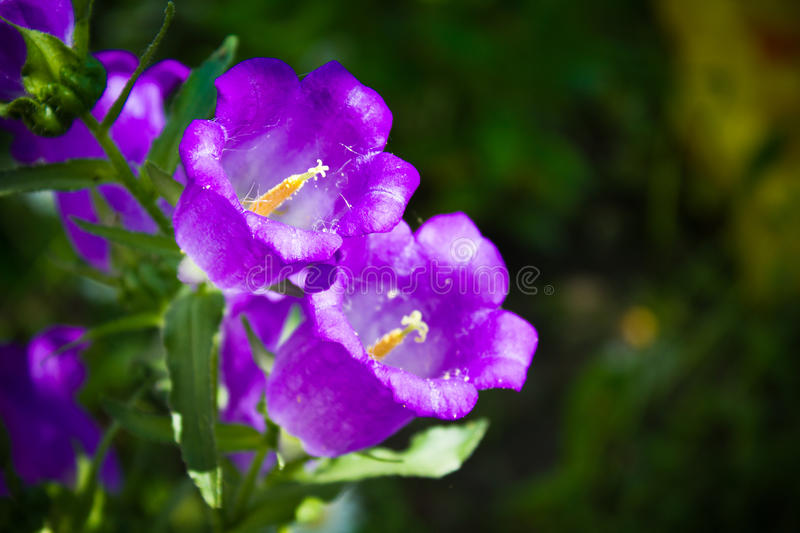 Campanula or canterbury bells. Campanula bells in the garden royalty free stock photos