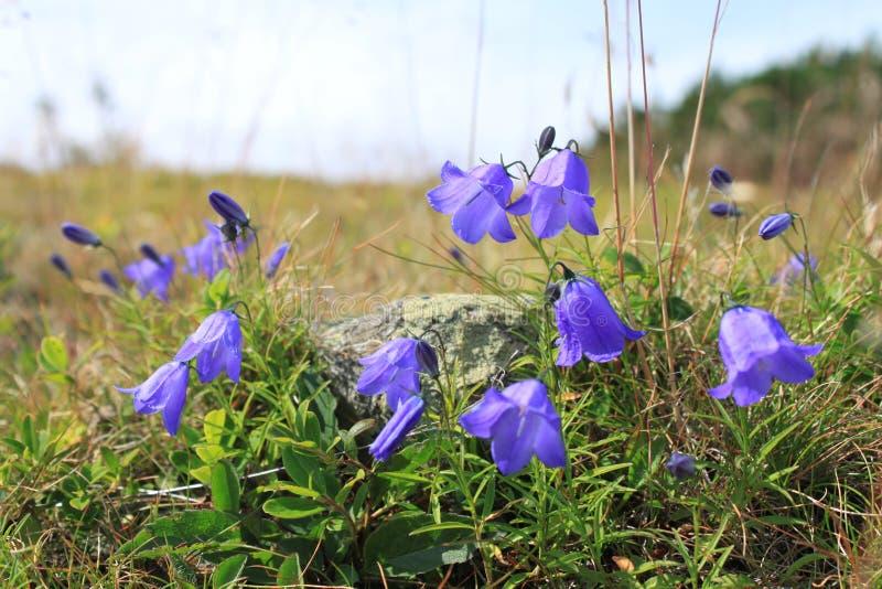 Fairies thimbles on Tatra Mountains, Poland. Purple fairies thimbles flowers in grasses on Tatra Mountains in Poland stock photos