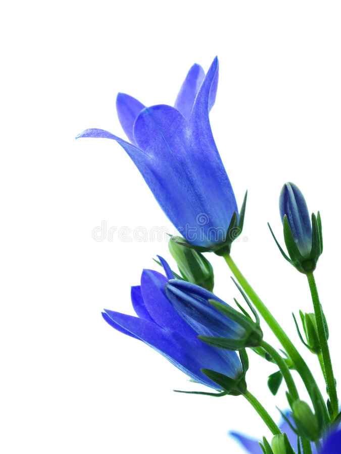 Campanula flower royalty free stock photography