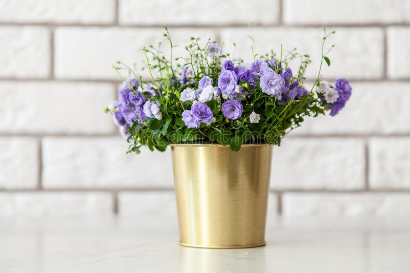 Campanula flowers in a golden pot.  royalty free stock photo