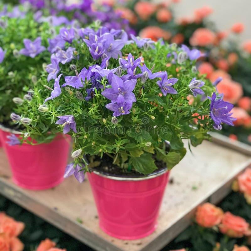 Campanula Portenschlagiana Ambella Intense Purple Flower. Natural Light Selective Focus. Campanula Portenschlagiana Ambella Intense Purple Flower Natural Light stock photos