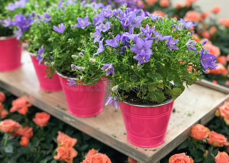 Campanula Portenschlagiana Ambella Intense Purple Flower. Natural Light Selective Focus. Background stock images
