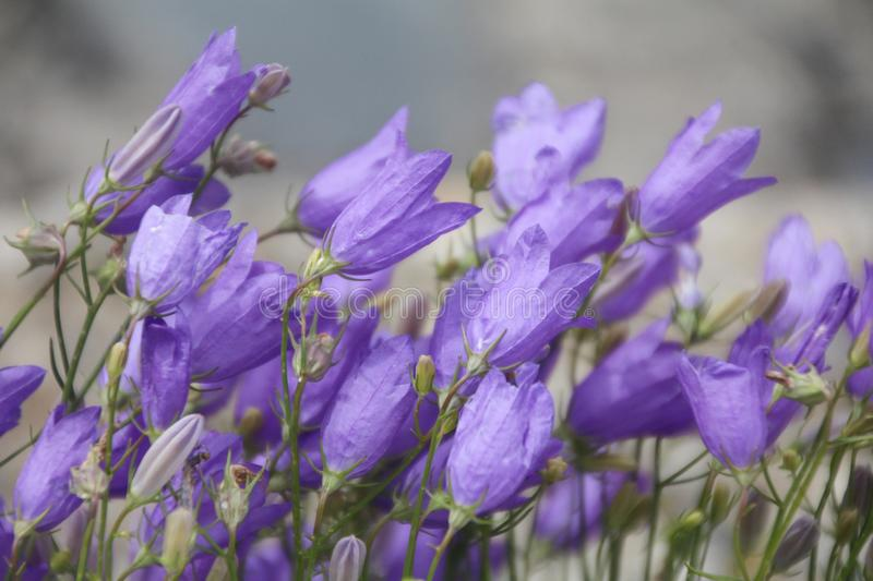 Close up view of Campanula, purple bell flowers royalty free stock photography