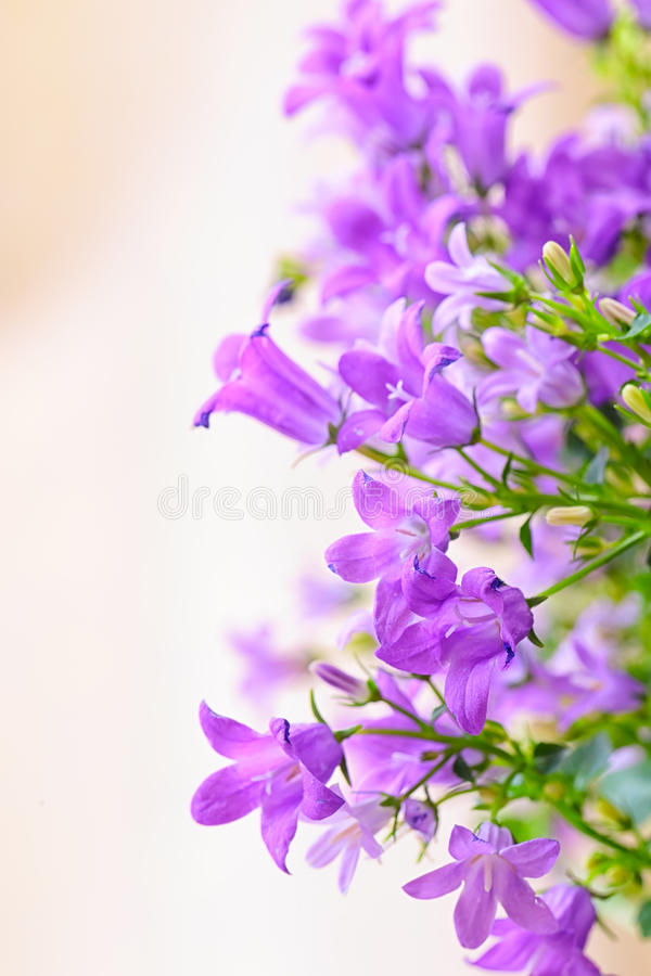 Download Campanula Spring Flowers Stock Photography - Image: 36994292