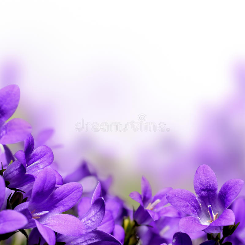Campanula spring flowers border. Or background stock image