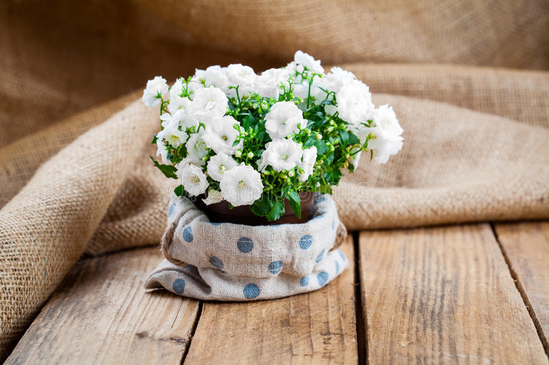 Download Campanula Terry Flowers In Paper Packaging Stock Photo - Image: 83720581