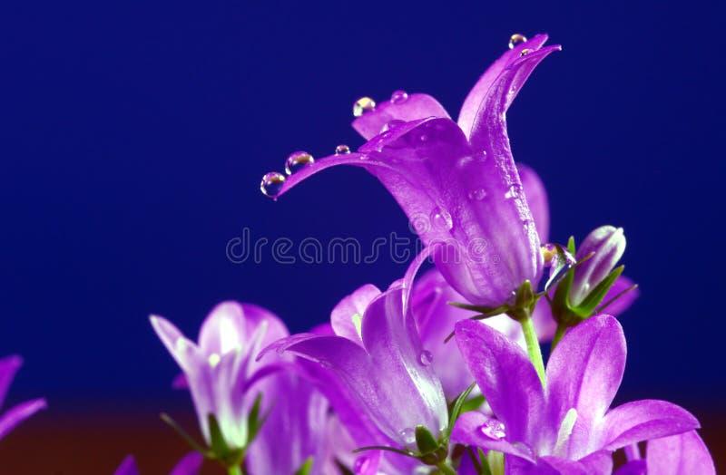 Campanula violeta de la flor imagenes de archivo