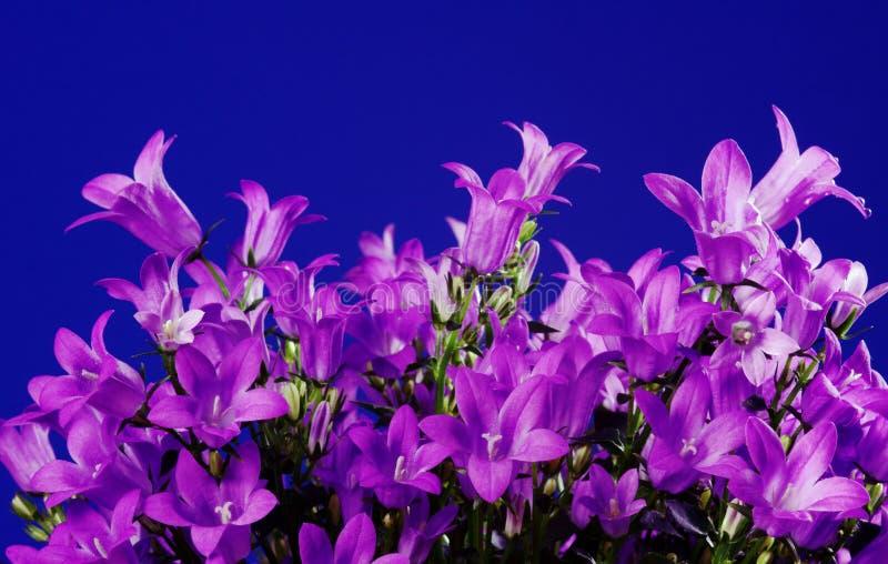 Campanula violeta de la flor fotos de archivo