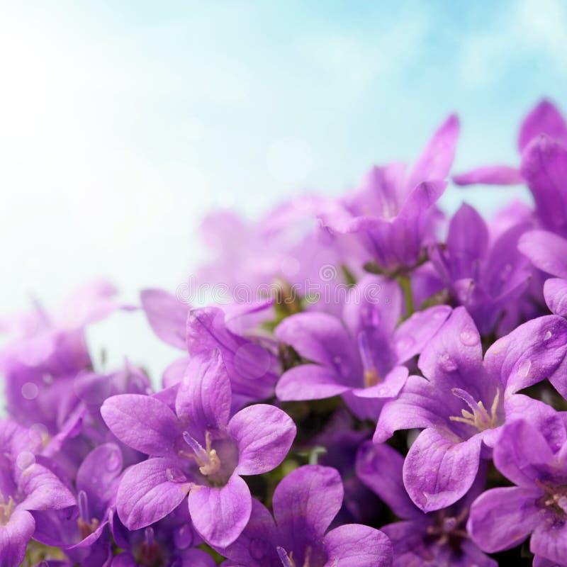 campanulablommor fotografering för bildbyråer