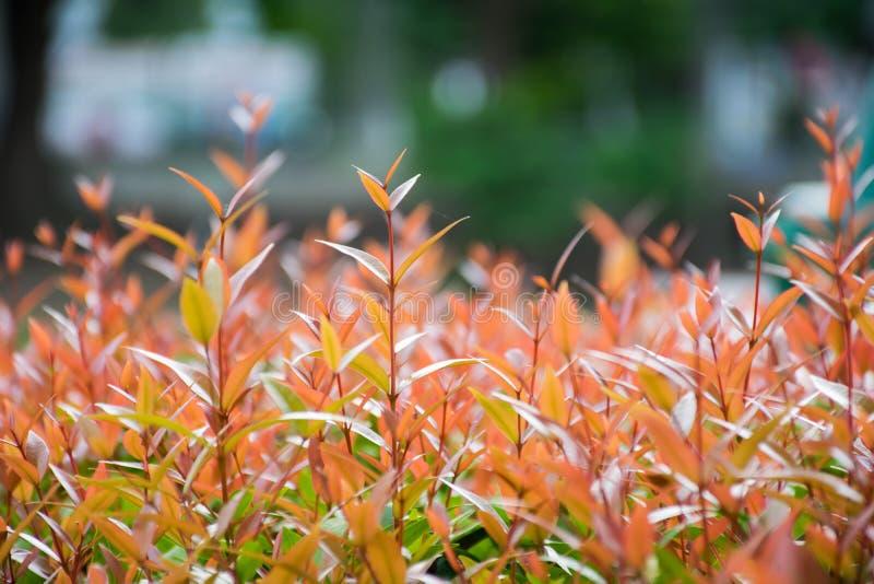 Campanulatum Syzygium стоковое изображение