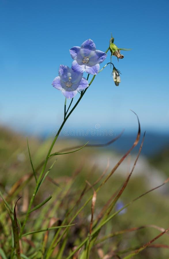 Campanule alpine - alpina de campanule dans l'herbe image libre de droits