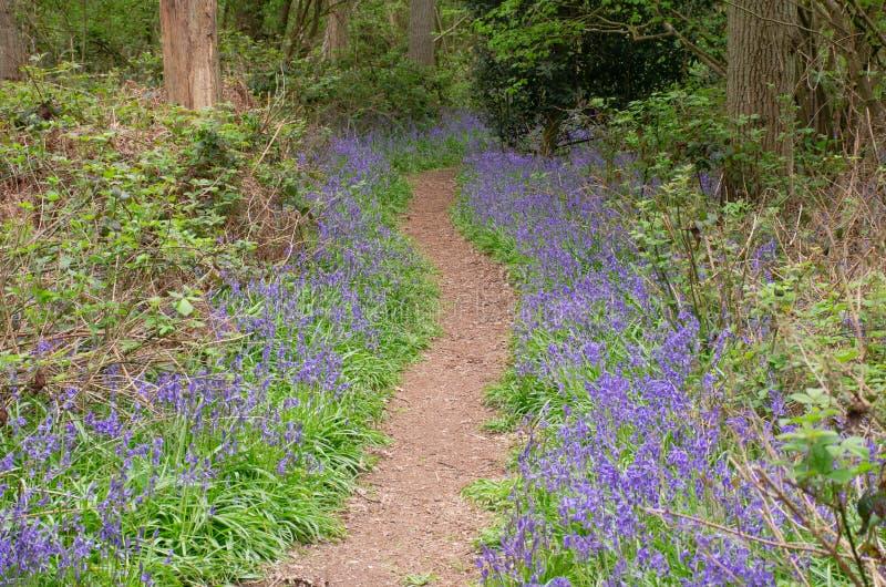 Campanule che allineano sentiero nel bosco in primavera immagine stock libera da diritti