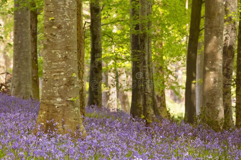 Campanule di fioritura in Irlanda del Nord fotografie stock libere da diritti
