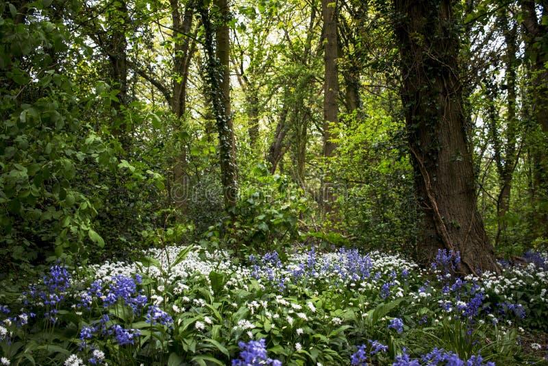 Campanule e terreno boscoso dell'aglio selvaggio fotografia stock