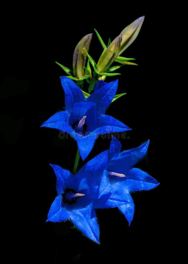 Campanule, fleurs bleues images libres de droits